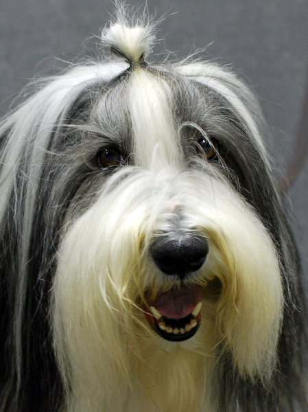 Stephy the Bearded Collie